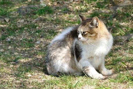 三毛猫の写真素材 [FYI03143691]