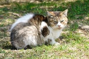 三毛猫の写真素材 [FYI03143692]