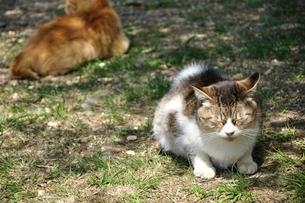 三毛猫の写真素材 [FYI03143694]
