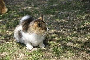 三毛猫の写真素材 [FYI03143695]