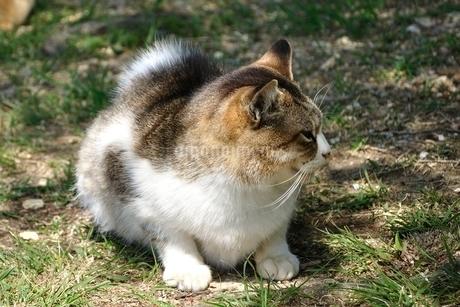 三毛猫の写真素材 [FYI03143696]