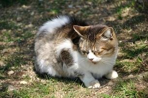 三毛猫の写真素材 [FYI03143697]