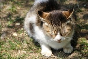 三毛猫の写真素材 [FYI03143698]