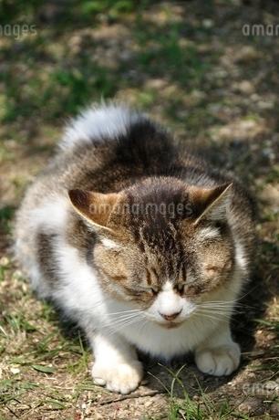 三毛猫の写真素材 [FYI03143699]