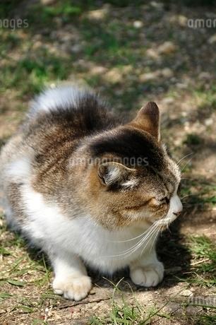三毛猫の写真素材 [FYI03143700]