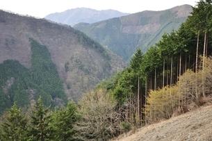 奥多摩 植林帯と三頭山の写真素材 [FYI03143703]