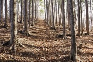 植林帯の登山道の写真素材 [FYI03143705]