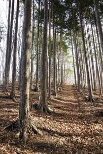 植林帯の登山道の写真素材 [FYI03143706]