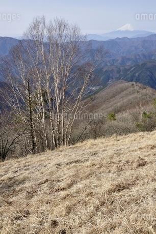 鷹ノ巣山のカヤトの原よりダケカンバと富士山の写真素材 [FYI03143725]
