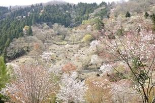 春爛漫の写真素材 [FYI03143851]