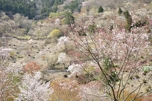 春爛漫の写真素材 [FYI03143852]