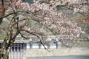 桜咲く奥多摩湖 小河内ダムの写真素材 [FYI03143855]