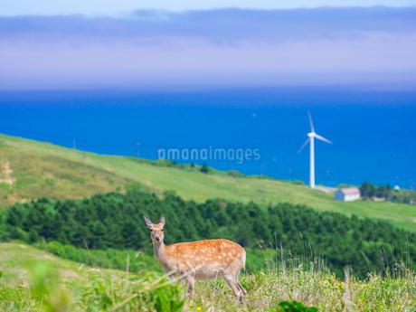 北海道 自然 風景 稚内公園内のエゾシカの写真素材 [FYI03143886]