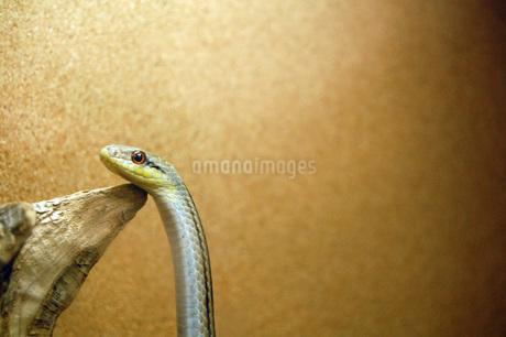 流木に顎をのせるつぶらな瞳の蛇の写真素材 [FYI03144089]