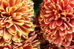 菊のクローズアップの写真素材 [FYI03144270]