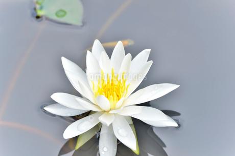美しいスイレンの花に可愛いメダカが泳いでいる写真の写真素材 [FYI03144609]