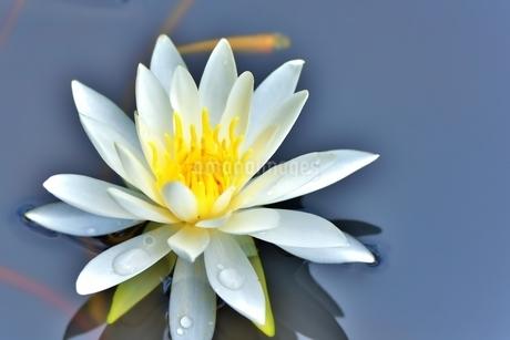 美しいスイレンの花に可愛いメダカが泳いでいる写真の写真素材 [FYI03144610]