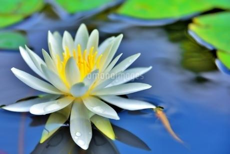 美しいスイレンの花に可愛いメダカが泳いでいる写真の写真素材 [FYI03144614]