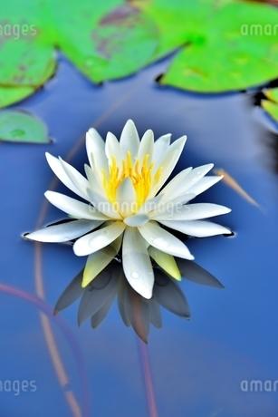 美しいスイレンの花に可愛いメダカが泳いでいる写真の写真素材 [FYI03144615]
