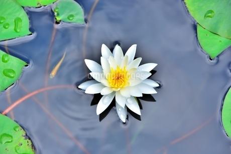 美しいスイレンの花に可愛いメダカが泳いでいる写真の写真素材 [FYI03144617]
