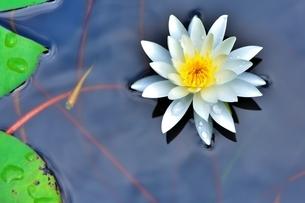 美しいスイレンの花に可愛いメダカが泳いでいる写真の写真素材 [FYI03144619]