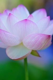 蓮の花の写真素材 [FYI03144640]