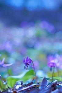 カタクリの花の写真素材 [FYI03144648]