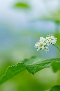 蕎麦の花の写真素材 [FYI03144662]