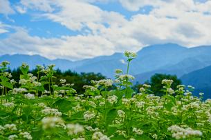 蕎麦の花と甲斐駒ヶ岳の写真素材 [FYI03144663]