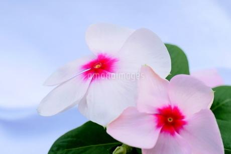 ニチニチソウの花の写真素材 [FYI03144737]