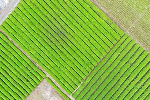 空撮した茶畑の写真素材 [FYI03144759]