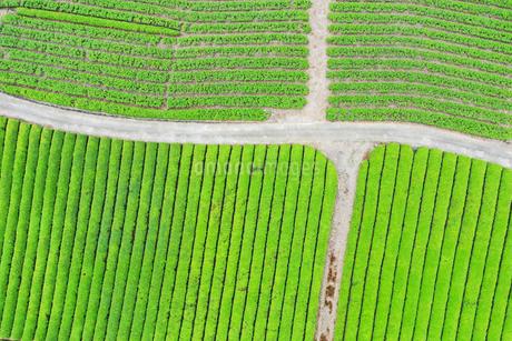 空撮した茶畑の写真素材 [FYI03144760]