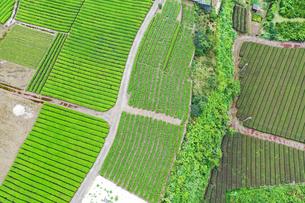 空撮した茶畑の写真素材 [FYI03144761]