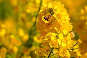 菜の花とミツバチの写真素材 [FYI03144878]