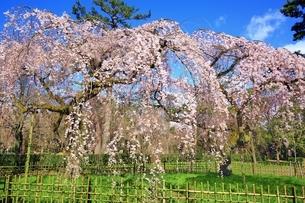 しだれ桜の写真素材 [FYI03145142]