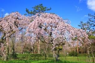 しだれ桜の写真素材 [FYI03145143]