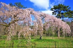 しだれ桜の写真素材 [FYI03145144]