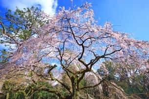 しだれ桜の写真素材 [FYI03145145]