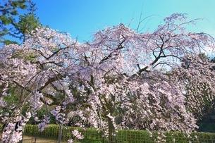 しだれ桜の写真素材 [FYI03145146]
