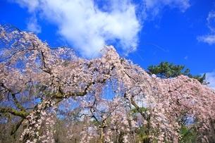 しだれ桜の写真素材 [FYI03145147]