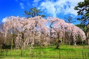 しだれ桜の写真素材 [FYI03145148]