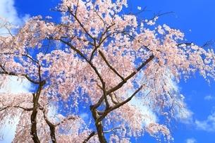 しだれ桜の写真素材 [FYI03145149]