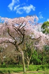 しだれ桜の写真素材 [FYI03145150]