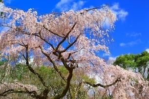 しだれ桜の写真素材 [FYI03145151]