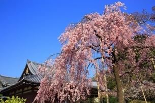 法金剛院の待賢門院桜の写真素材 [FYI03145218]