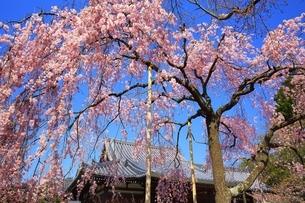 法金剛院の待賢門院桜の写真素材 [FYI03145220]