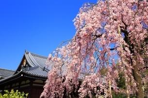 法金剛院の待賢門院桜の写真素材 [FYI03145221]