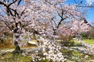 桜咲く勧修寺の写真素材 [FYI03145231]