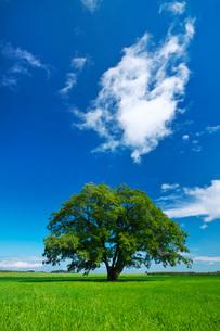 ハルニレの木の写真素材 [FYI03145328]