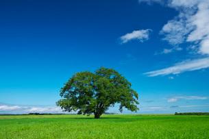 ハルニレの木の写真素材 [FYI03145329]
